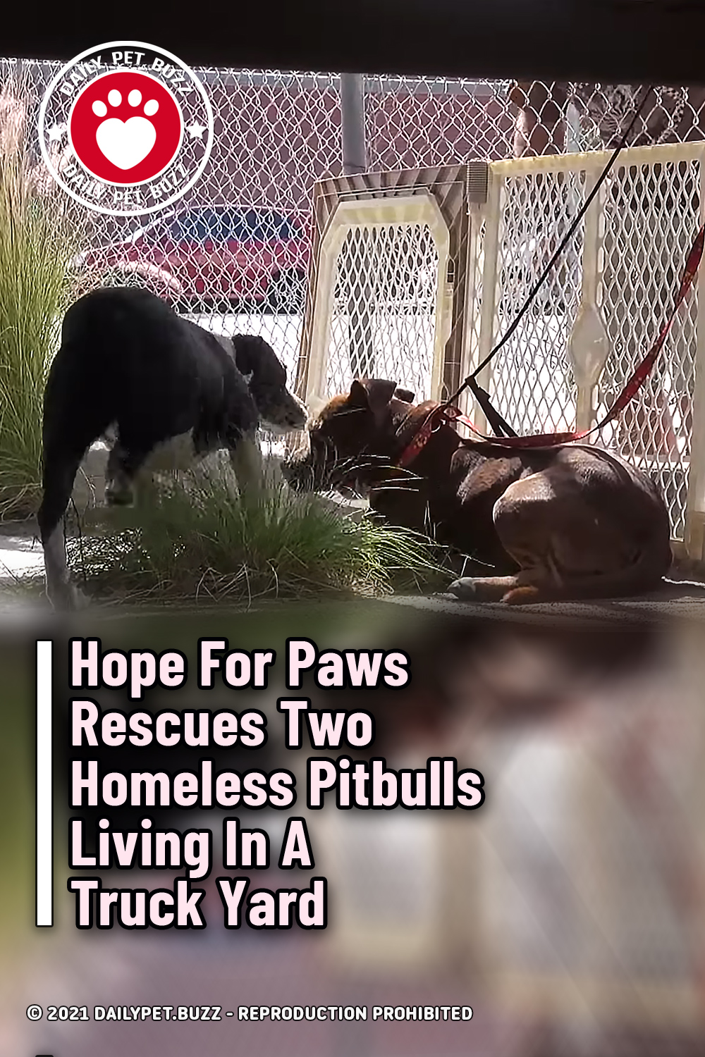 Hope For Paws Rescues Two Homeless Pitbulls Living In A Truck Yard