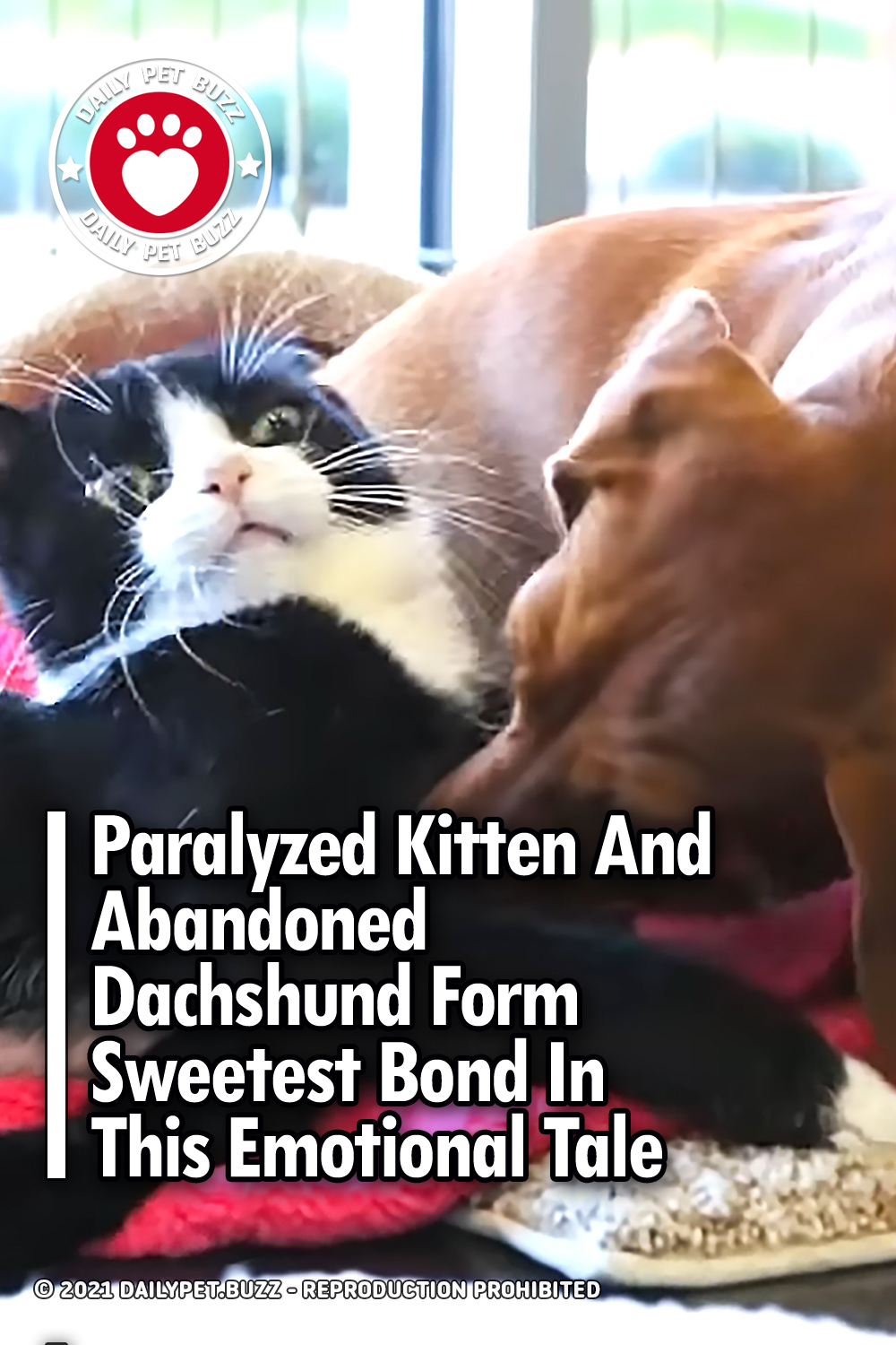 Paralyzed Kitten And Abandoned Dachshund Form Sweetest Bond In This Emotional Tale