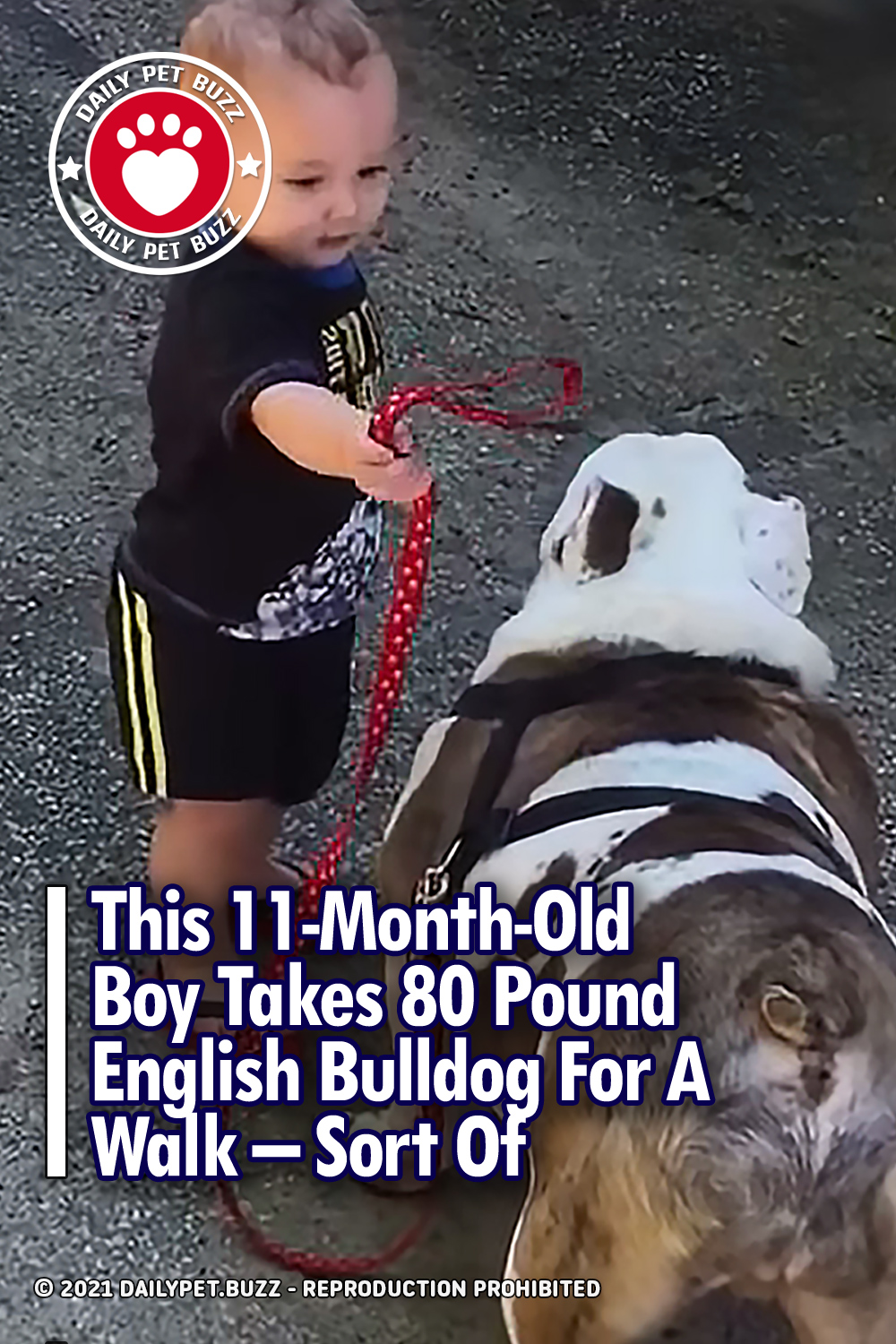 This 11-Month-Old Boy Takes 80 Pound English Bulldog For A Walk – Sort Of