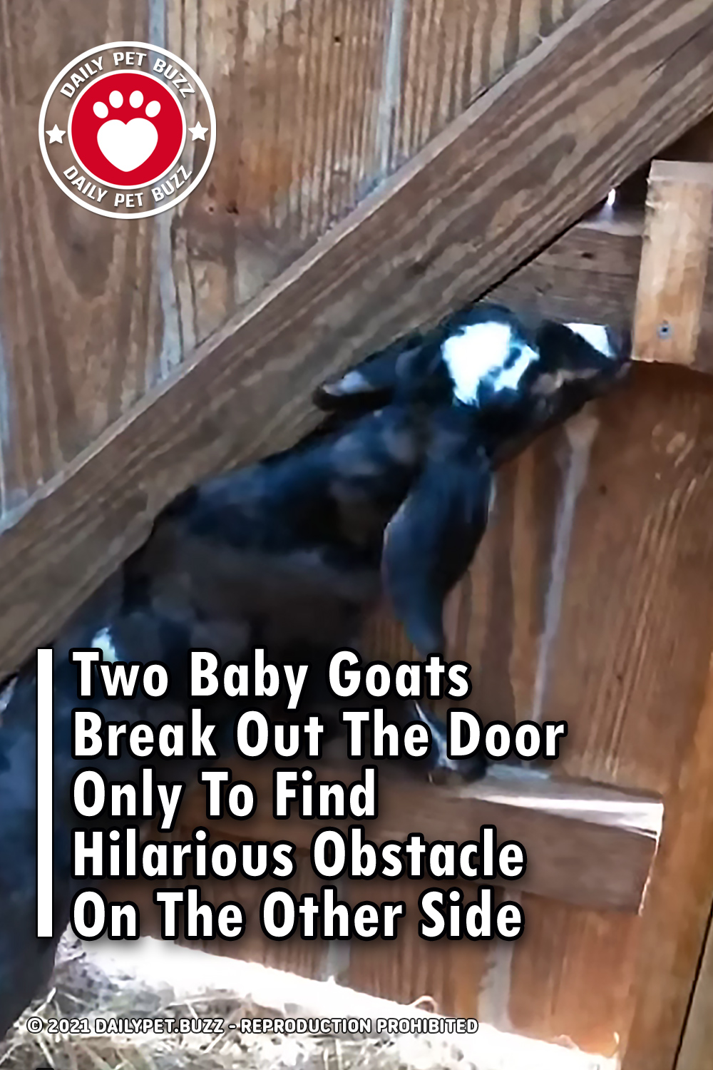 Two Baby Goats Break Out The Door Only To Find Hilarious Obstacle On The Other Side