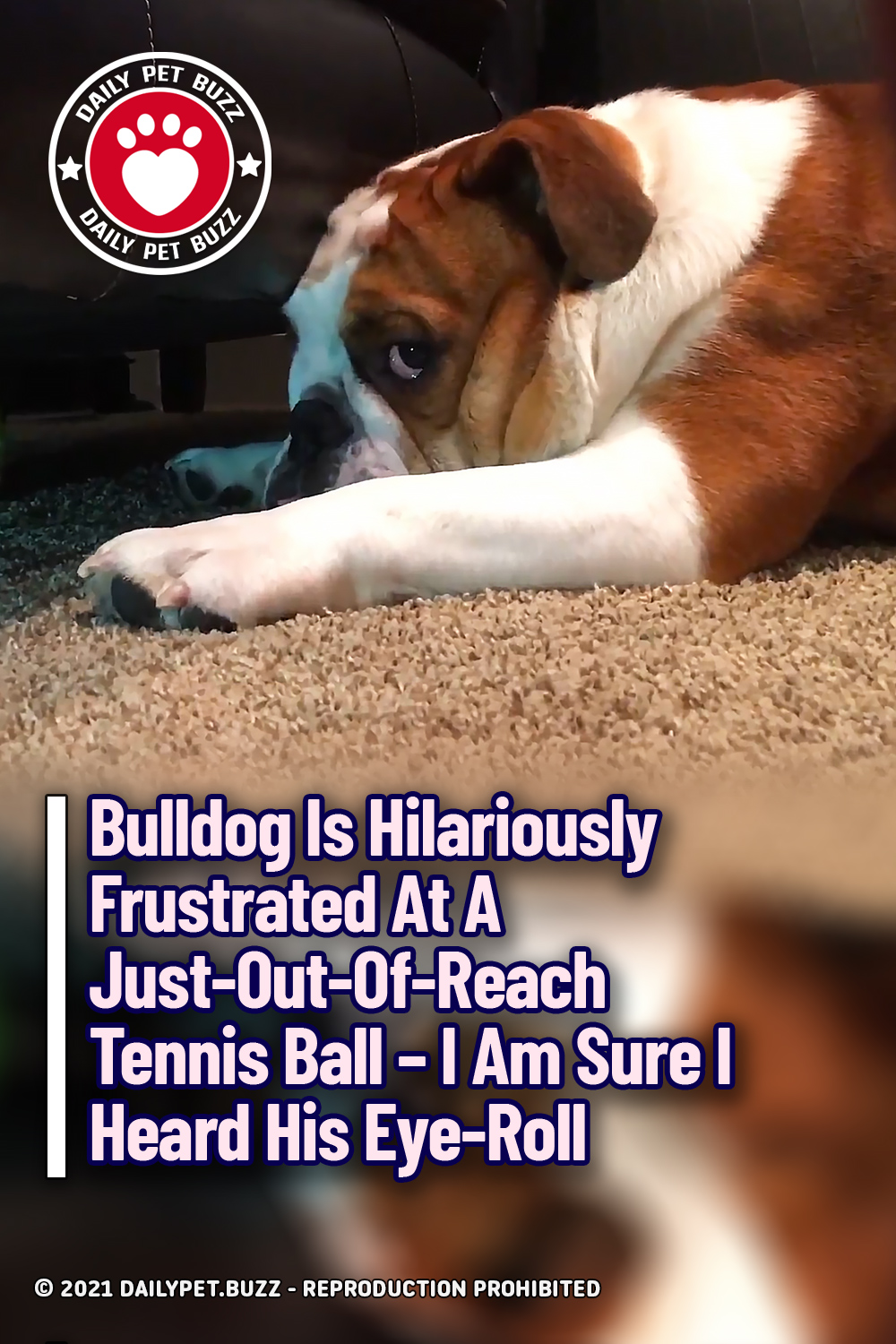 Bulldog Is Hilariously Frustrated At A Just-Out-Of-Reach Tennis Ball – I Am Sure I Heard His Eye-Roll