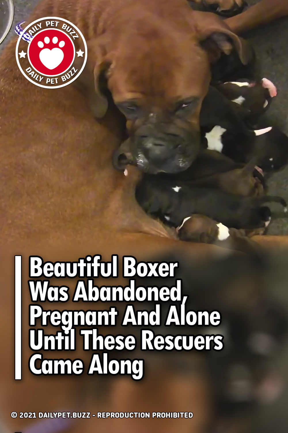 Beautiful Boxer Was Abandoned, Pregnant And Alone Until These Rescuers Came Along