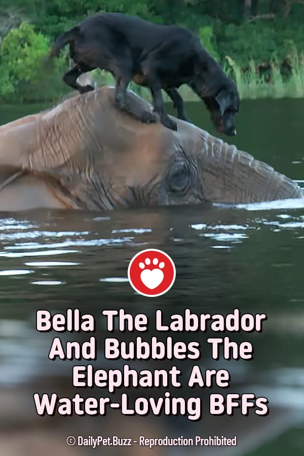 Bella The Labrador And Bubbles The Elephant Are Water-Loving BFFs