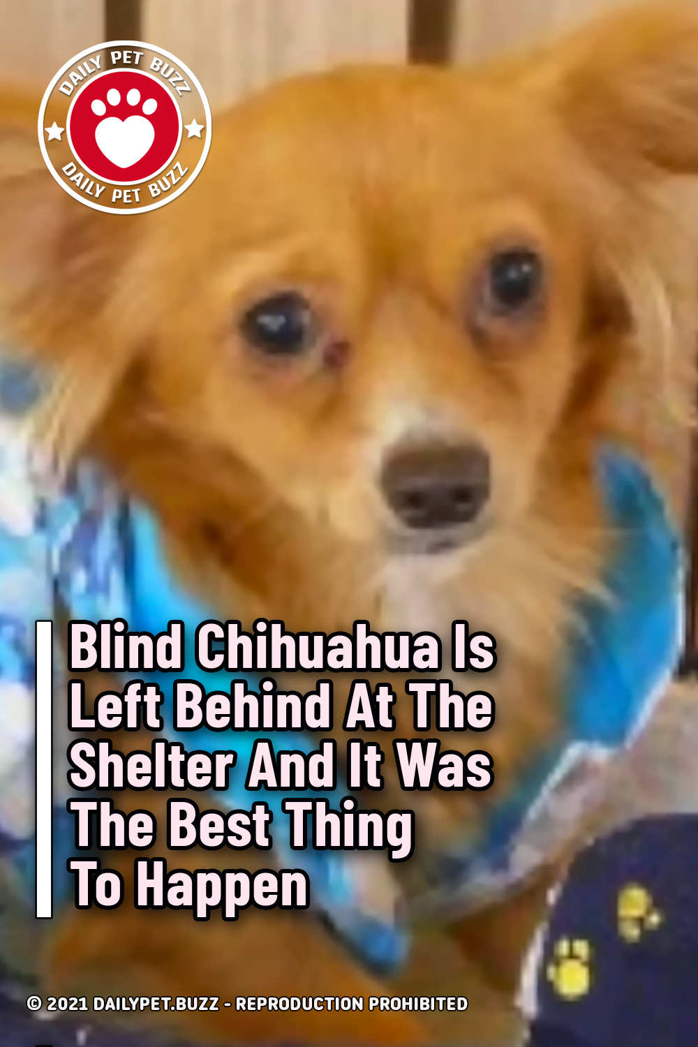 Blind Chihuahua Is Left Behind At The Shelter And It Was The Best Thing To Happen