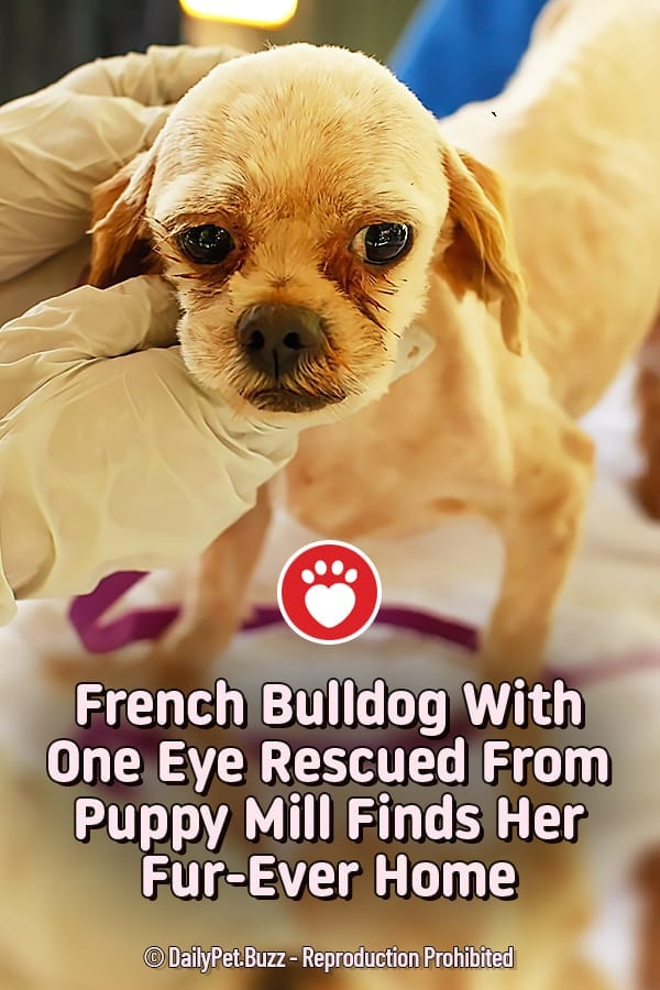 French Bulldog With One Eye Rescued From Puppy Mill Finds Her Fur-Ever Home