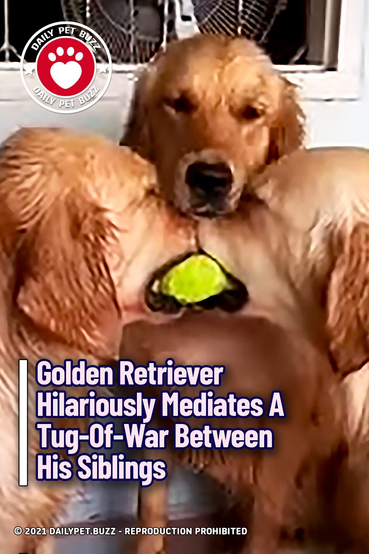 Golden Retriever Hilariously Mediates A Tug-Of-War Between His Siblings