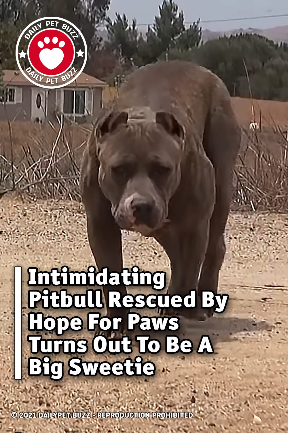 Intimidating Pitbull Rescued By Hope For Paws Turns Out To Be A Big Sweetie