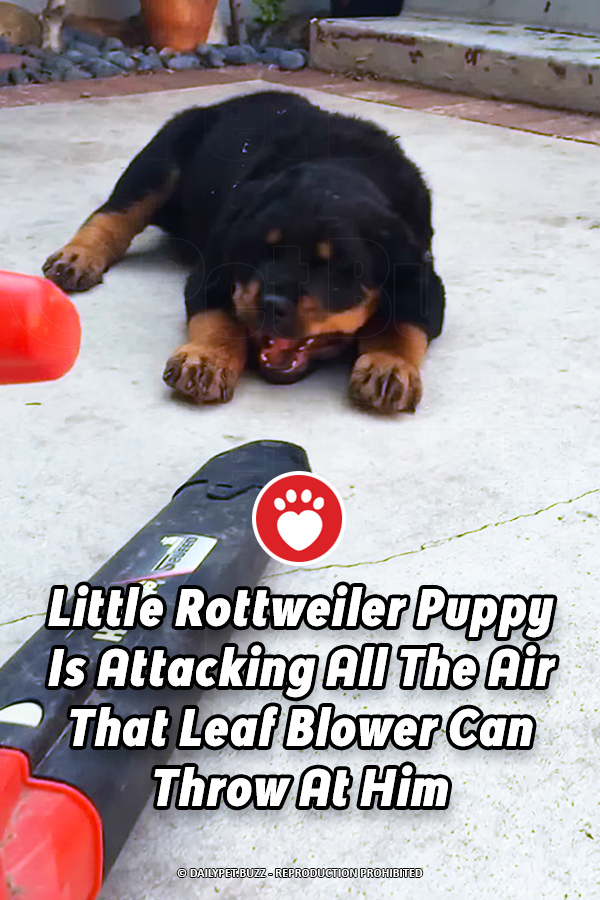 Little Rottweiler Puppy Is Attacking All The Air That Leaf Blower Can Throw At Him