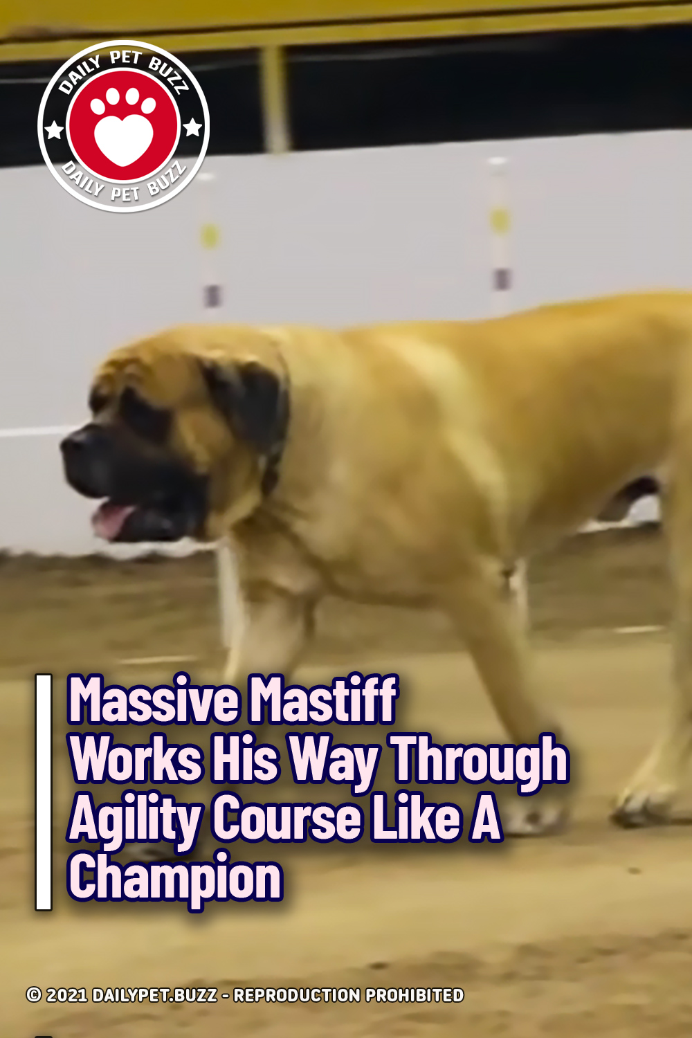 Massive Mastiff Works His Way Through Agility Course Like A Champion