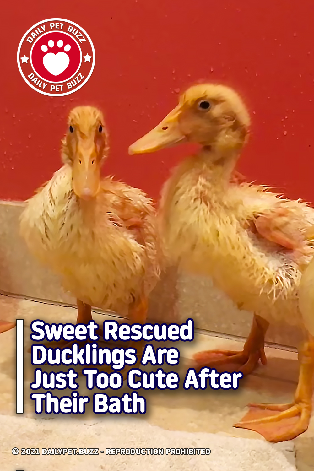 Sweet Rescued Ducklings Are Just Too Cute After Their Bath