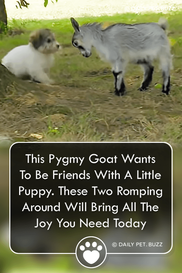 This Pygmy Goat Wants To Be Friends With A Little Puppy. These Two Romping Around Will Bring All The Joy You Need Today