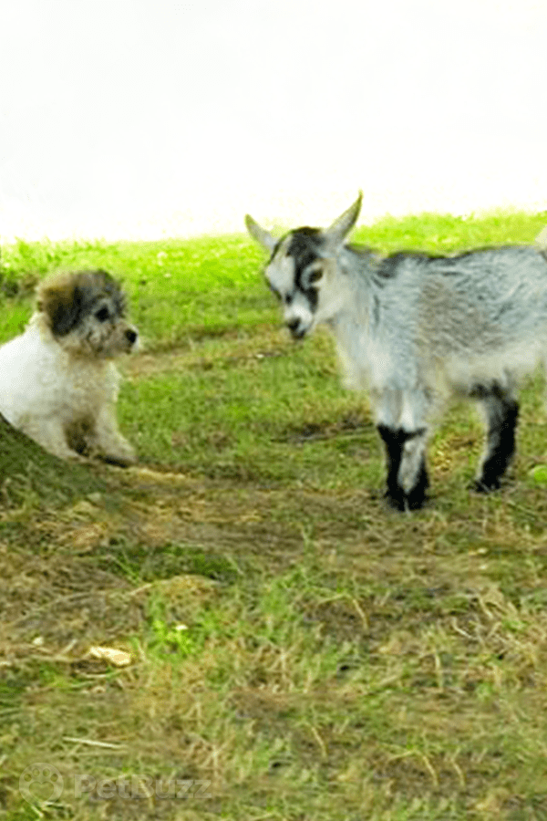 40472-Pinset-This-Pygmy-Goat-Wants-To-Be-Friends-With-A-Little-Puppy.-These-Two-Romping-Around-Will-Bring-All-The-Joy-You-Need-Today