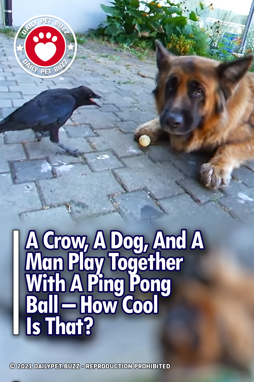 A Crow, A Dog, And A Man Play Together With A Ping Pong Ball – How Cool Is That?