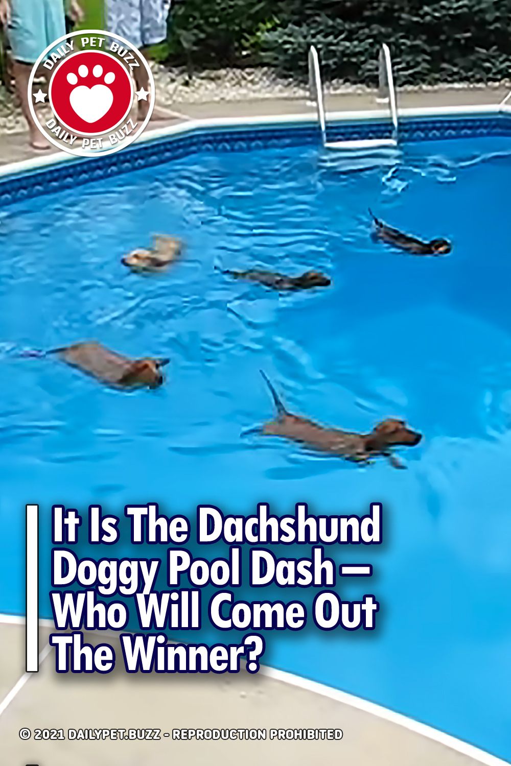 It Is The Dachshund Doggy Pool Dash – Who Will Come Out The Winner?