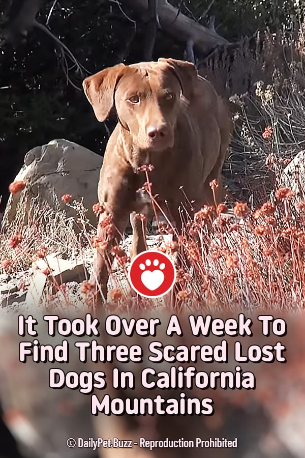 It Took Over A Week To Find Three Scared Lost Dogs In California Mountains