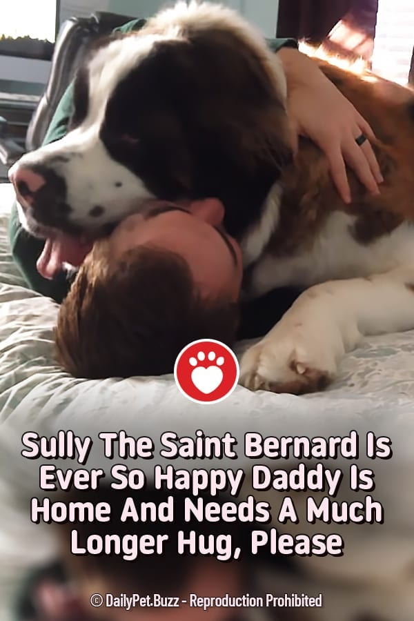 Sully The Saint Bernard Is Ever So Happy Daddy Is Home And Needs A Much Longer Hug, Please