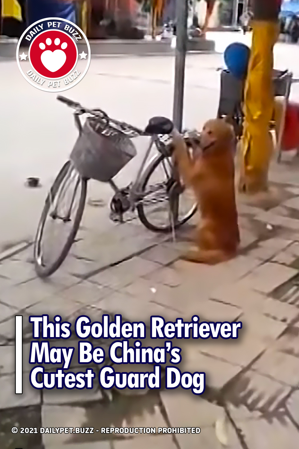 This Golden Retriever May Be China\'s Cutest Guard Dog