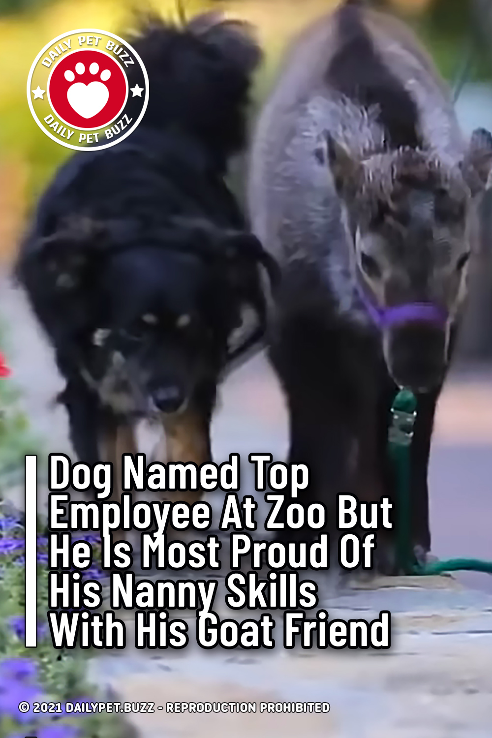 Dog Named Top Employee At Zoo But He Is Most Proud Of His Nanny Skills With His Goat Friend