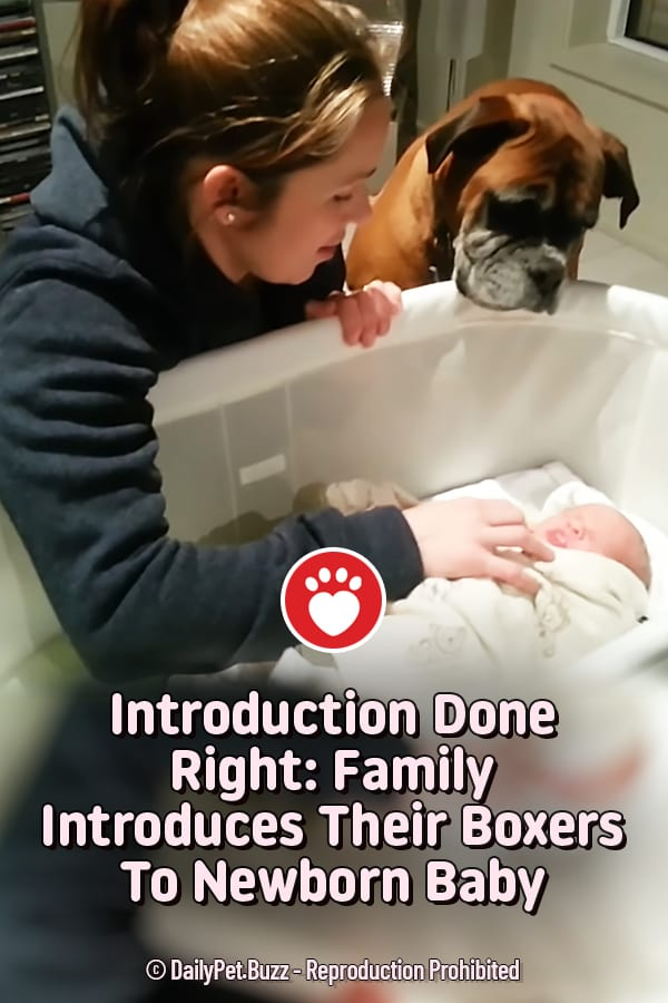Introduction Done Right: Family Introduces Their Boxers To Newborn Baby