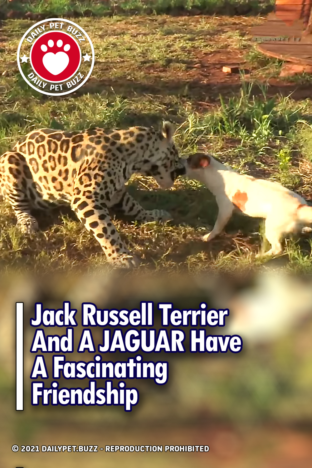 Jack Russell Terrier And A JAGUAR Have A Fascinating Friendship