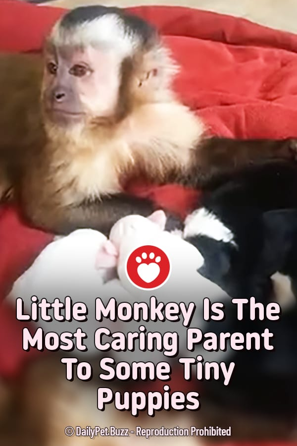 Little Monkey Is The Most Caring Parent To Some Tiny Puppies