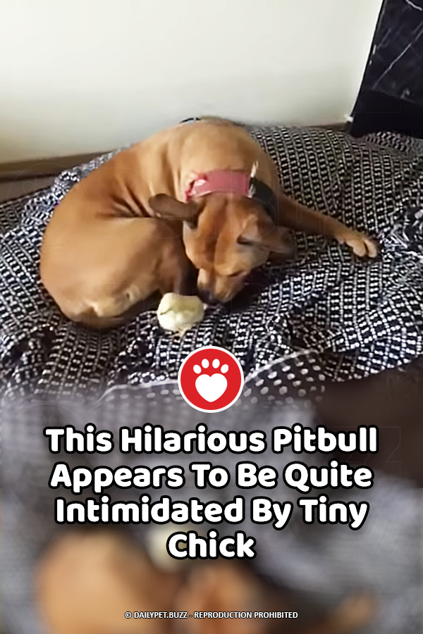 This Hilarious Pitbull Appears To Be Quite Intimidated By Tiny Chick