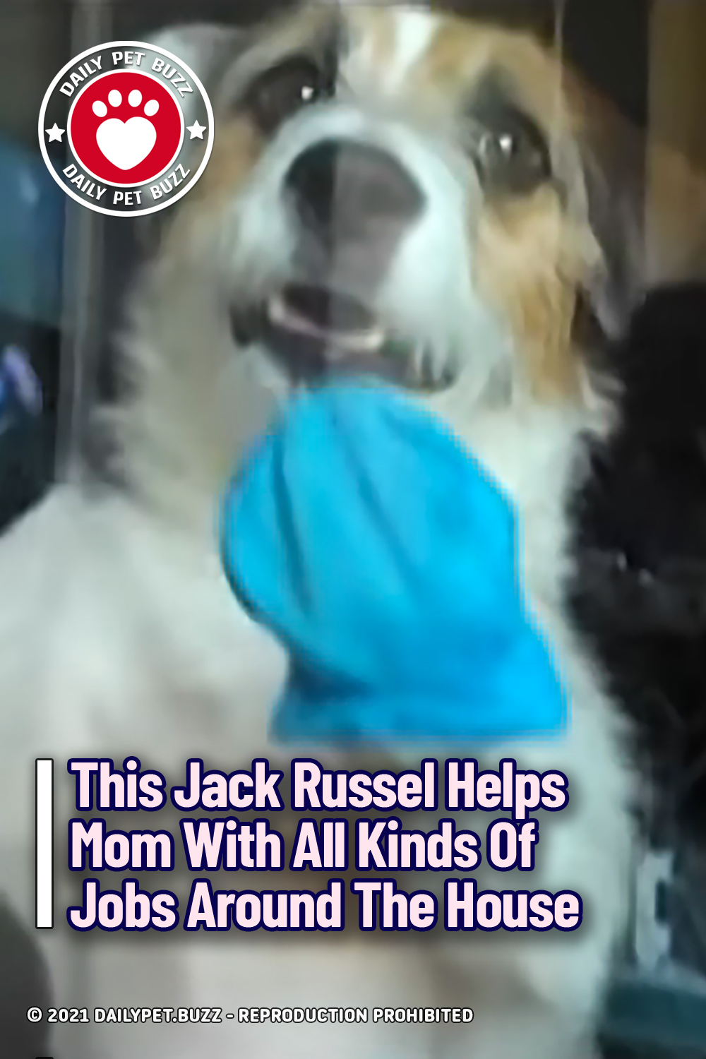 This Jack Russel Helps Mom With All Kinds Of Jobs Around The House