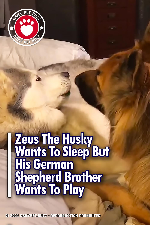 Zeus The Husky Wants To Sleep But His German Shepherd Brother Wants To Play