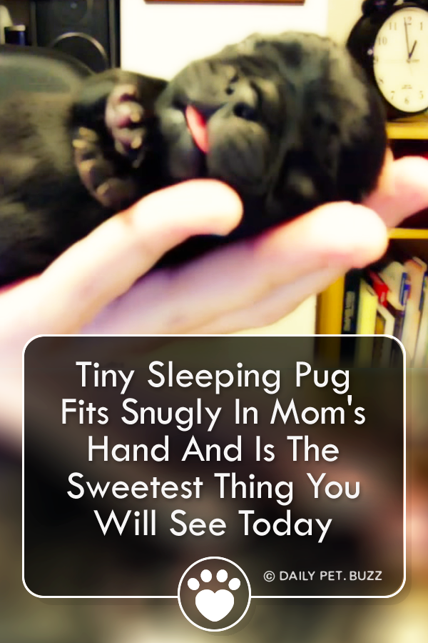 Tiny Sleeping Pug Fits Snugly In Mom\'s Hand And Is The Sweetest Thing You Will See Today