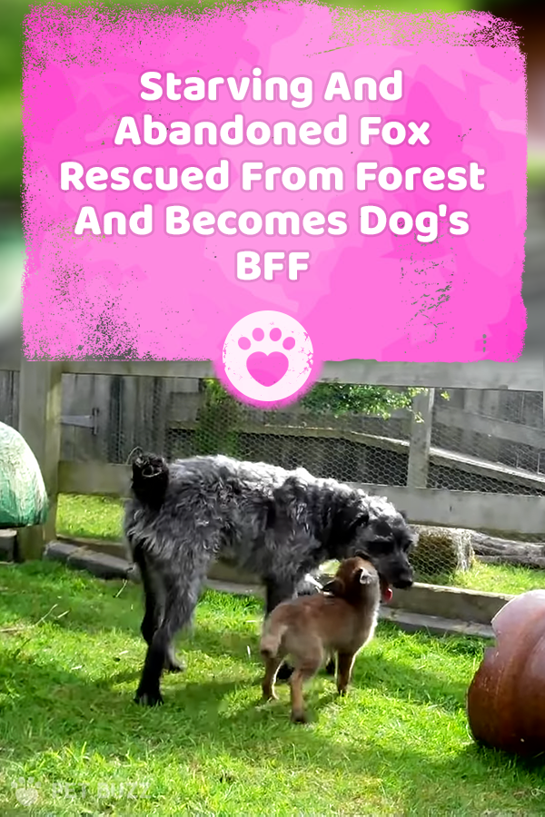 Starving And Abandoned Fox Rescued From Forest And Becomes Dog\'s BFF