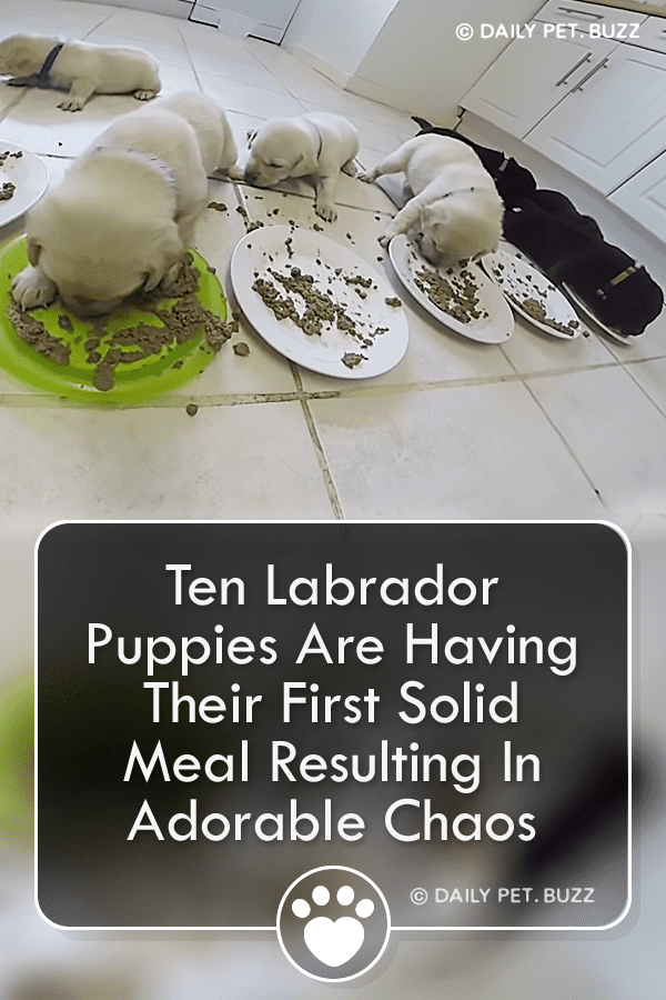 Ten Labrador Puppies Are Having Their First Solid Meal Resulting In Adorable Chaos
