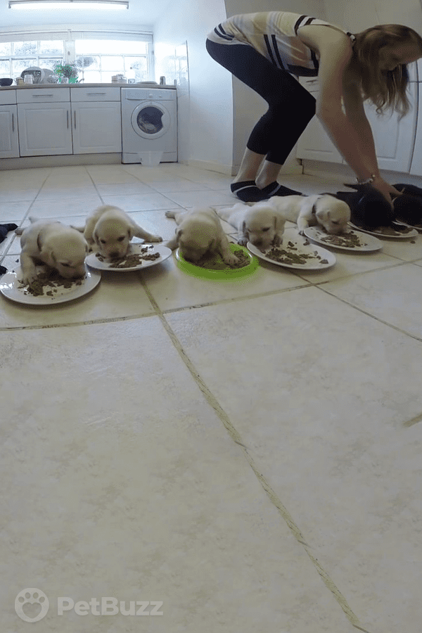25588-Pinset-Ten-Labrador-Puppies-Are-Having-Their-First-Solid-Meal-Resulting-In-Adorable-Chaos