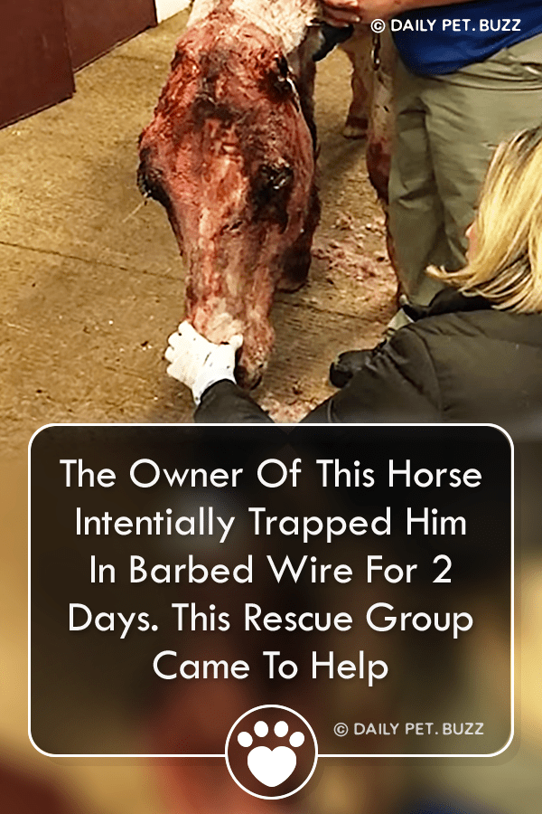 The Owner Of This Horse Intentionally Trapped Him In Barbed Wire For 2 Days. This Rescue Group Came To Help