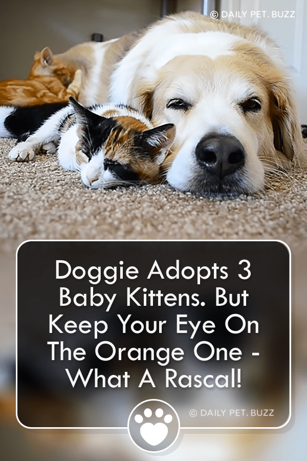 Doggie Adopts 3 Baby Kittens. But Keep Your Eye On The Orange One - What A Rascal!