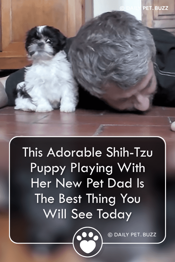 This Adorable Shih-Tzu Puppy Playing With Her New Pet Dad Is The Best Thing You Will See Today