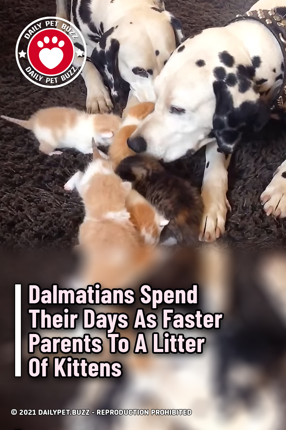 Dalmatians Spend Their Days As Faster Parents To A Litter Of Kittens
