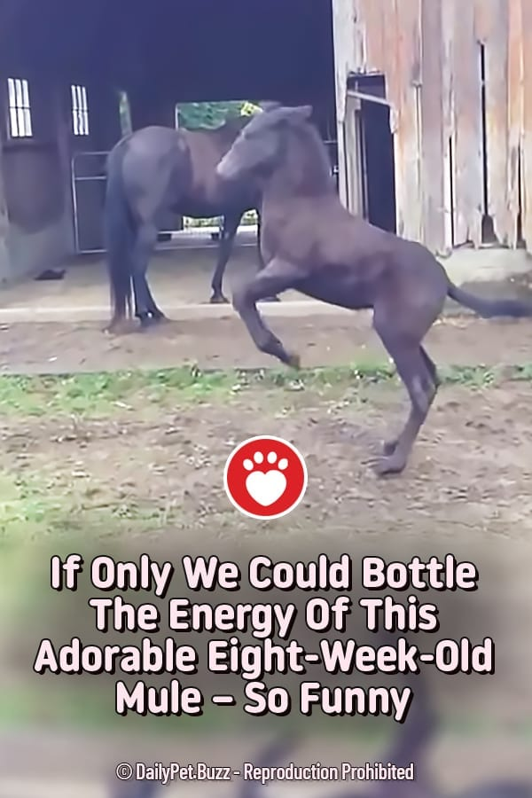 If Only We Could Bottle The Energy Of This Adorable Eight-Week-Old Mule – So Funny