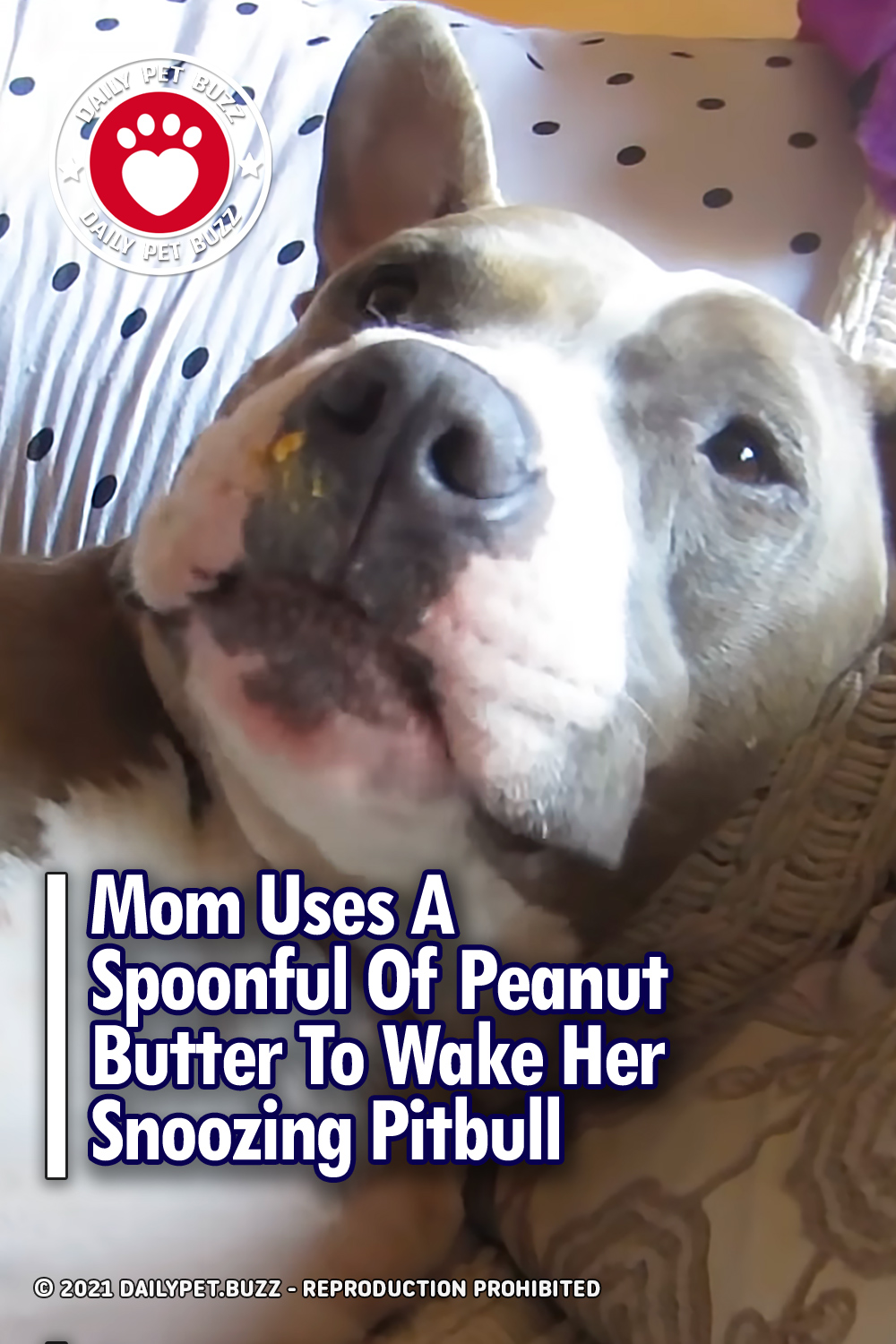 Mom Uses A Spoonful Of Peanut Butter To Wake Her Snoozing Pitbull