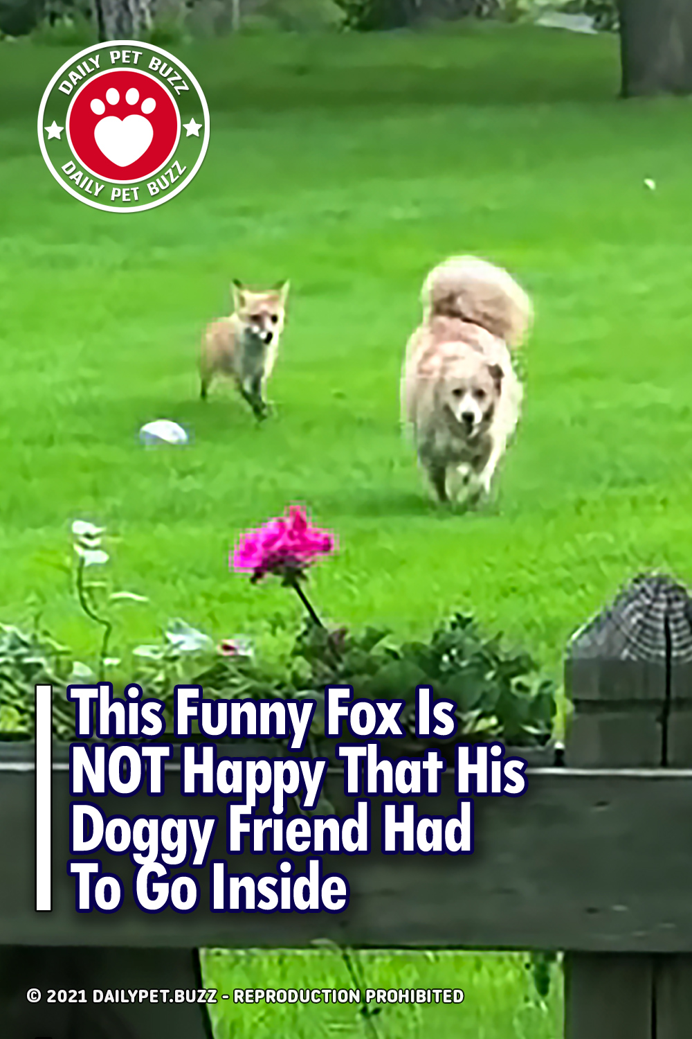 This Funny Fox Is NOT Happy That His Doggy Friend Had To Go Inside