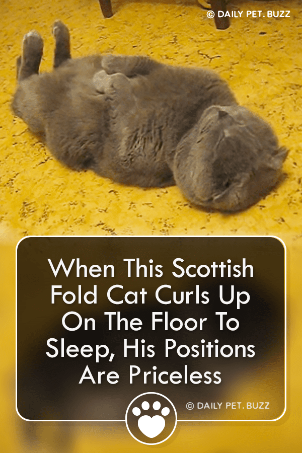 When This Scottish Fold Cat Curls Up On The Floor To Sleep, His Positions Are Priceless