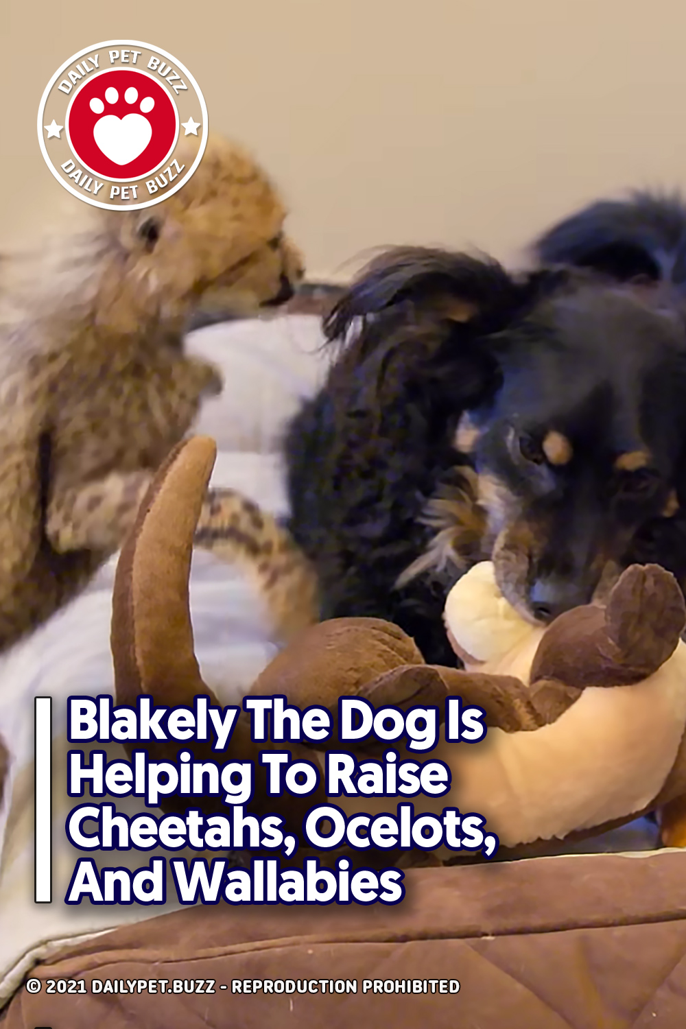 Blakely The Dog Is Helping To Raise Cheetahs, Ocelots, And Wallabies
