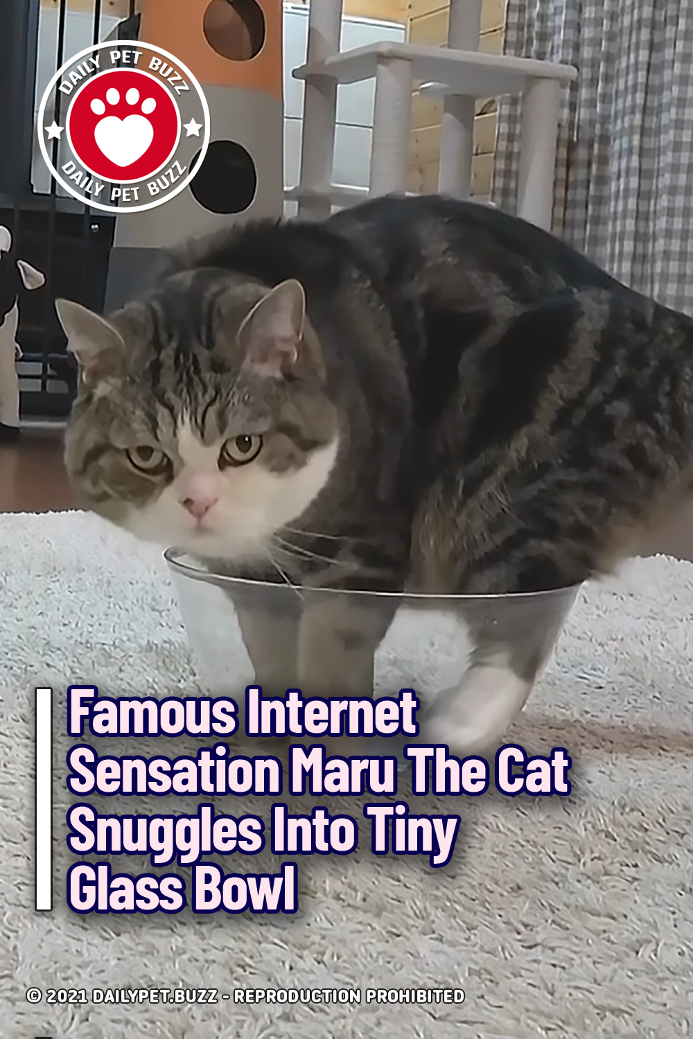 Famous Internet Sensation Maru The Cat Snuggles Into Tiny Glass Bowl
