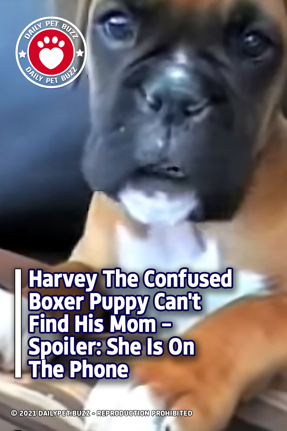 Harvey The Confused Boxer Puppy Can\'t Find His Mom – Spoiler: She Is On The Phone