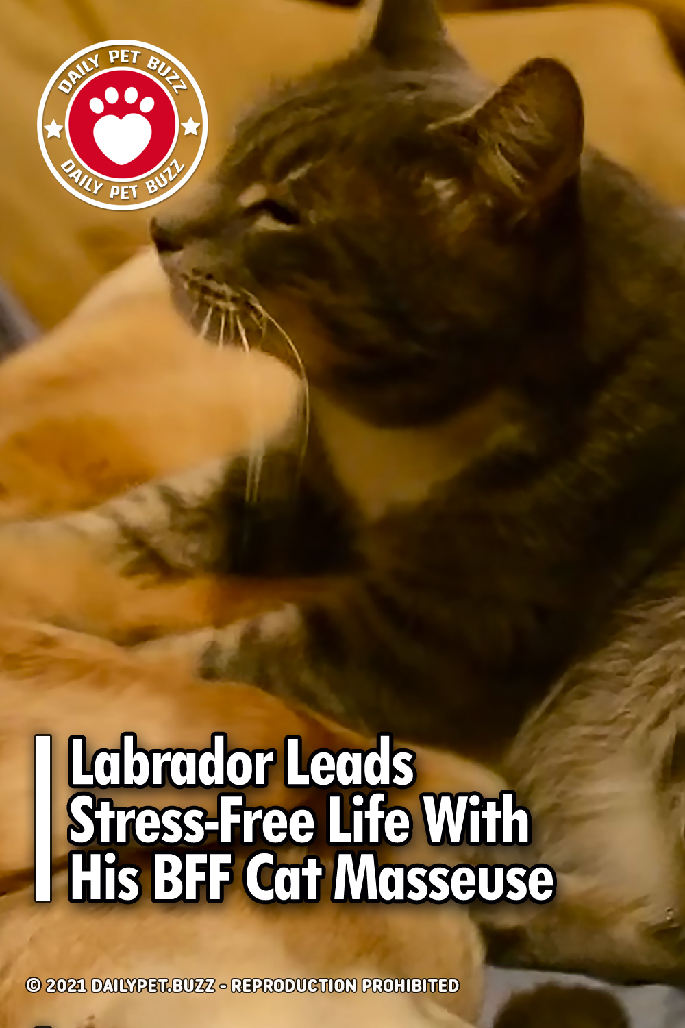 Labrador Leads Stress-Free Life With His BFF Cat Masseuse