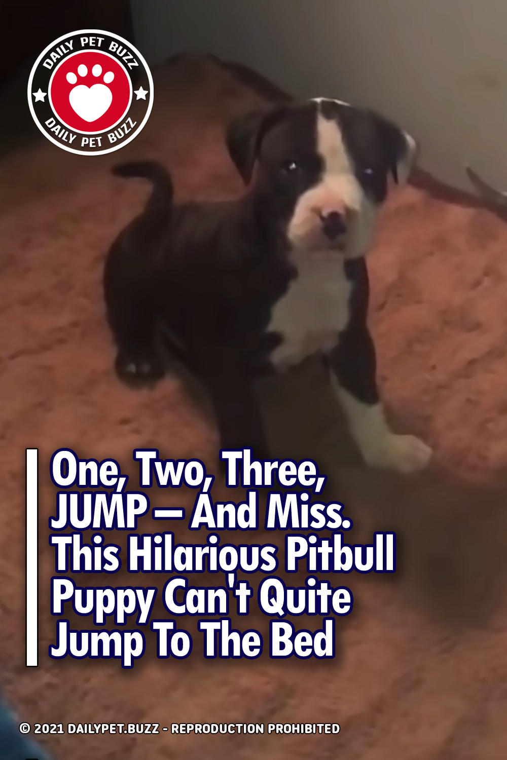One, Two, Three, JUMP – And Miss. This Hilarious Pitbull Puppy Can\'t Quite Jump To The Bed