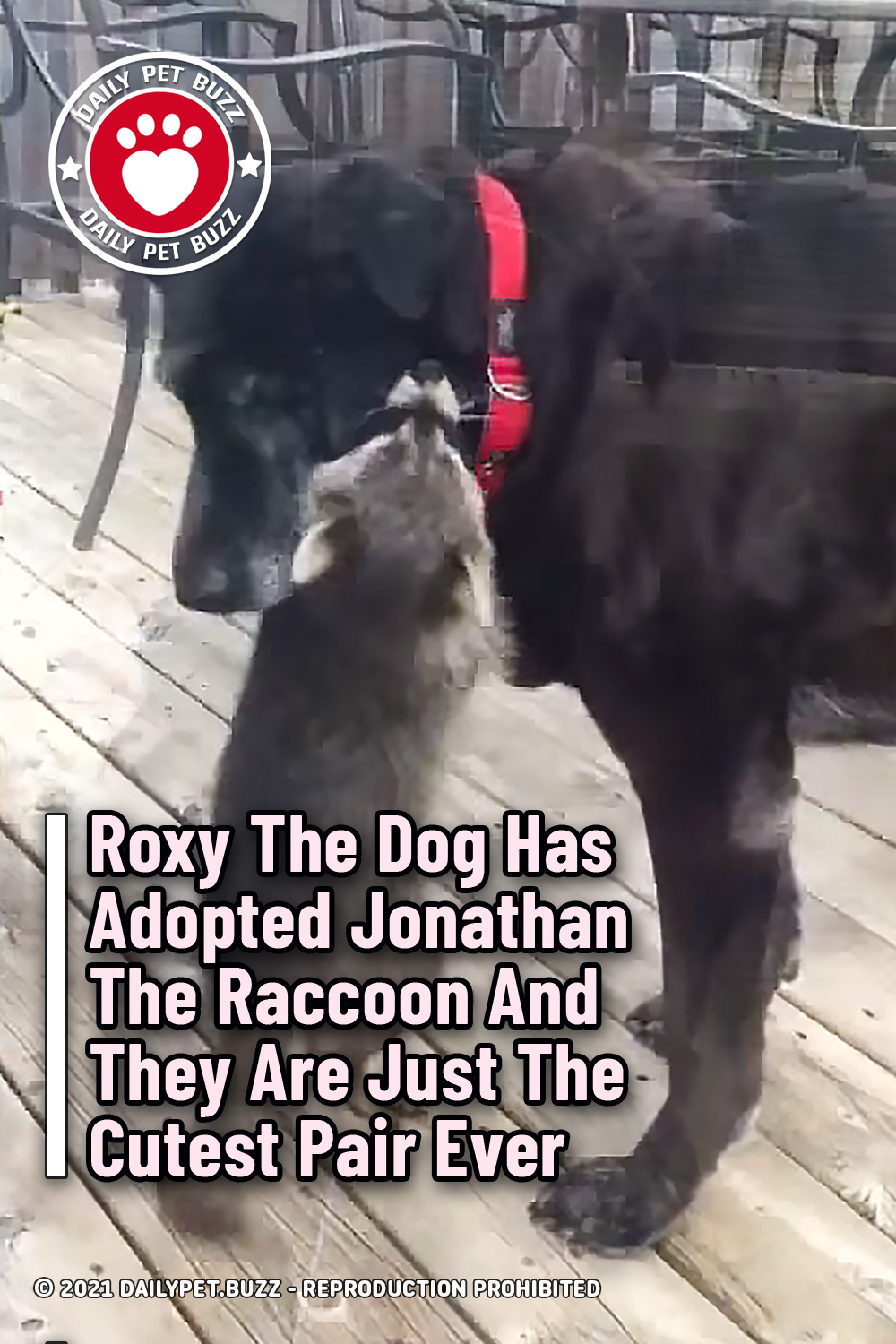 Roxy The Dog Has Adopted Jonathan The Raccoon And They Are Just The Cutest Pair Ever