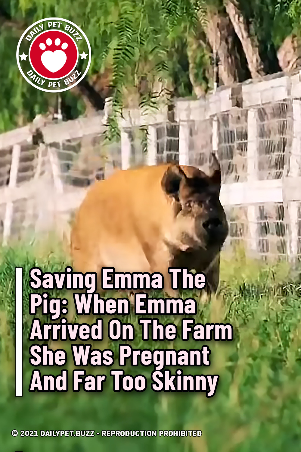 Saving Emma The Pig: When Emma Arrived On The Farm She Was Pregnant And Far Too Skinny