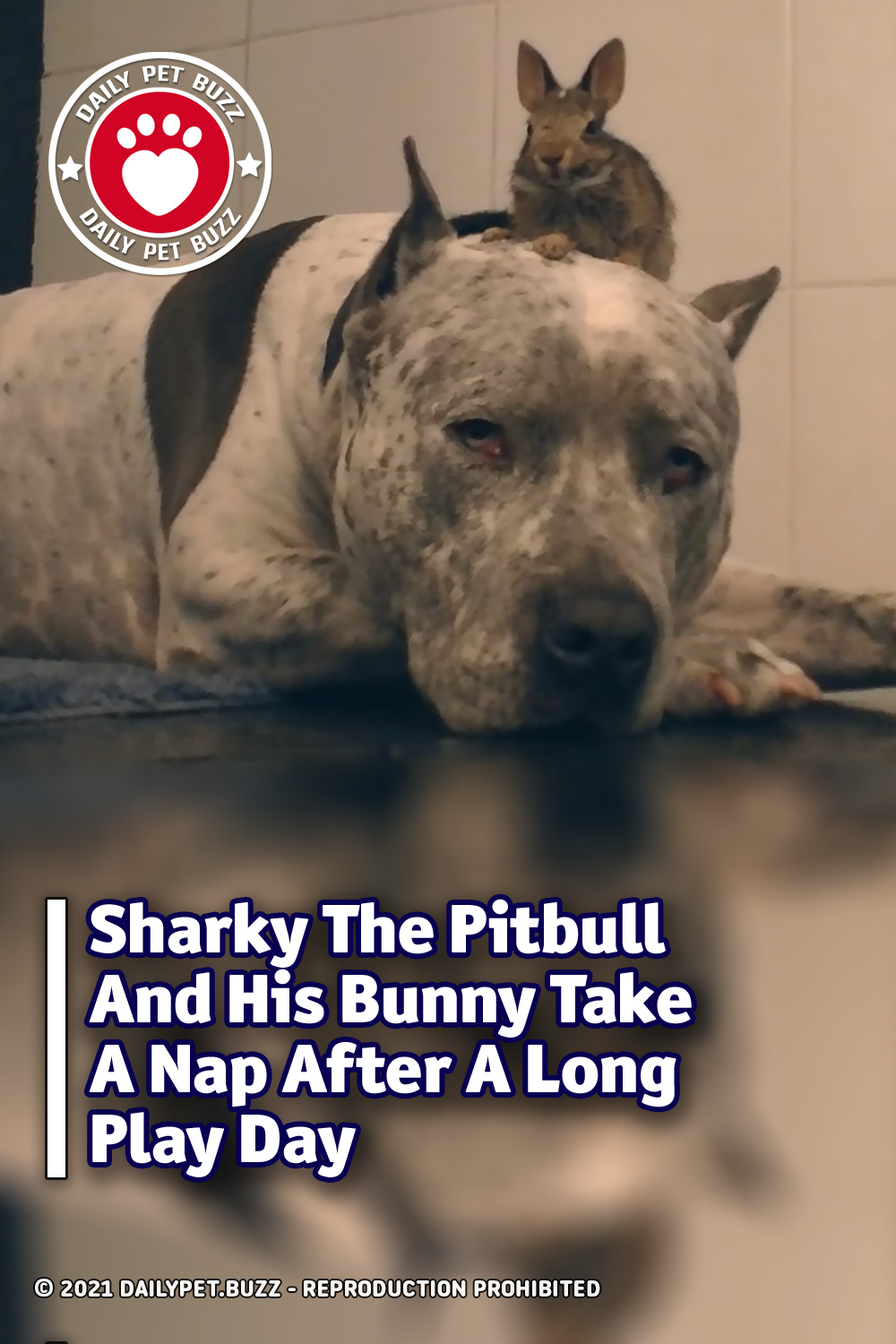 Sharky The Pitbull And His Bunny Take A Nap After A Long Play Day