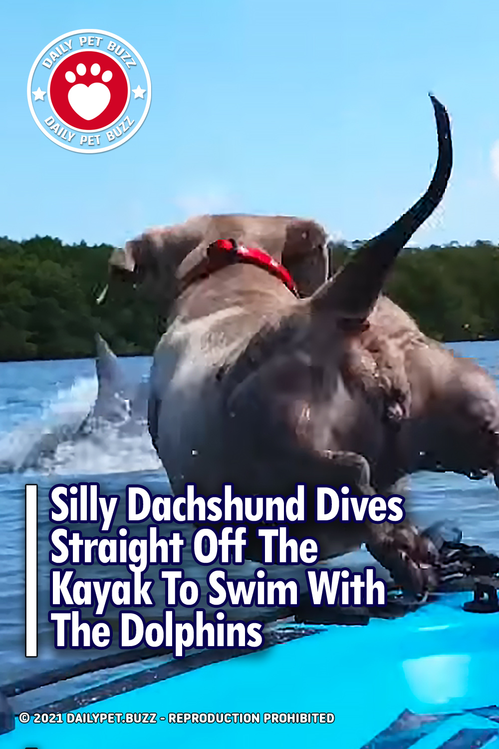 Silly Dachshund Dives Straight Off The Kayak To Swim With The Dolphins