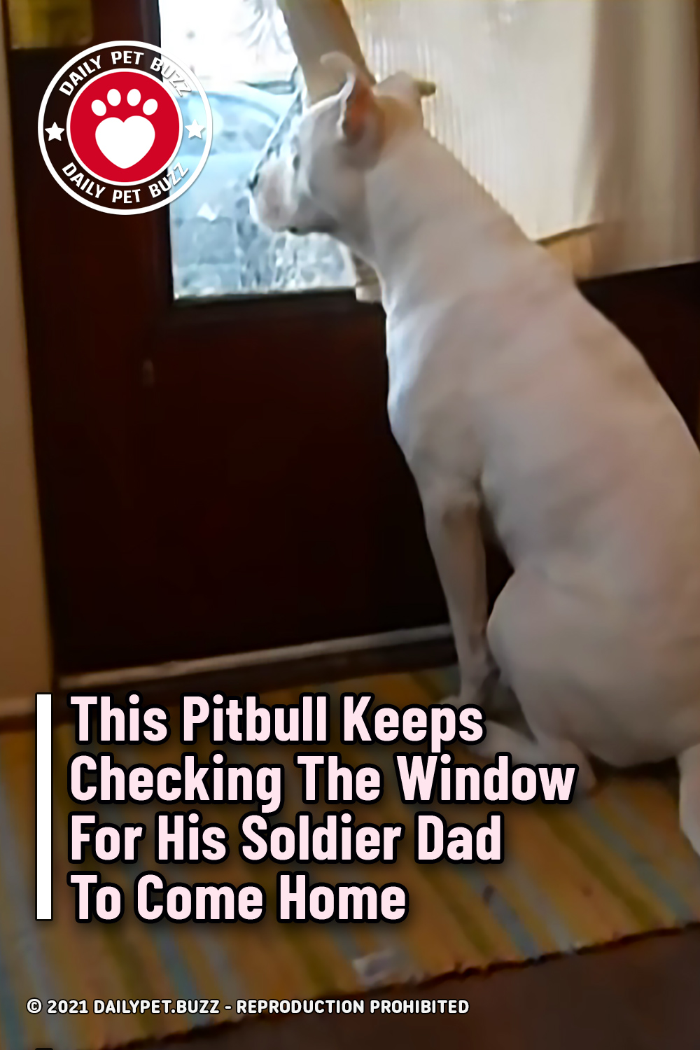 This Pitbull Keeps Checking The Window For His Soldier Dad To Come Home
